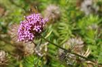Asperula ciliata